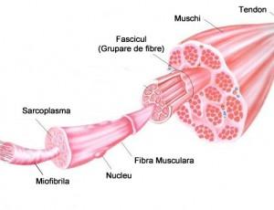 Anatomie Muschi
