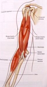 Anatomie Biceps