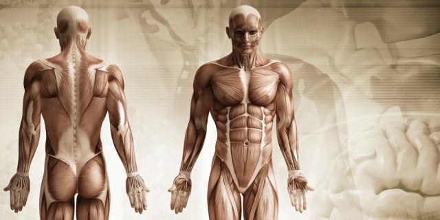 Tipuri Fibre Musculare