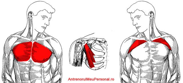 Anatomie muschi piept